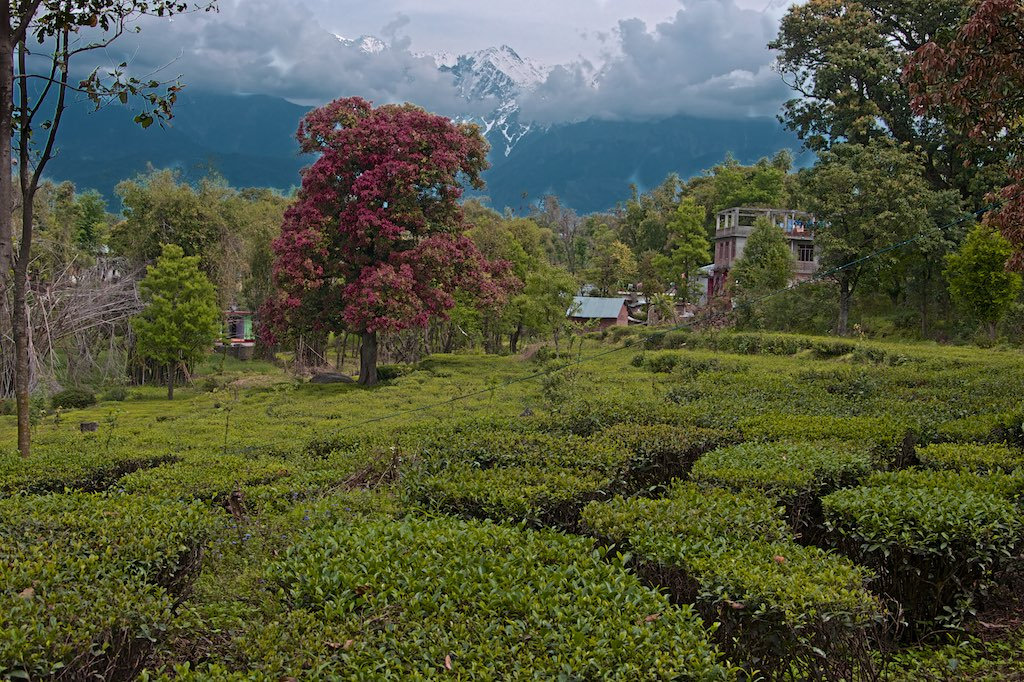 File:A tea plantation, sights, scenic nature, and culture Himachal ...