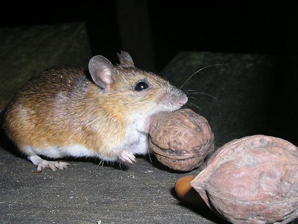 Large Japanese Field Mouse Wikipedia