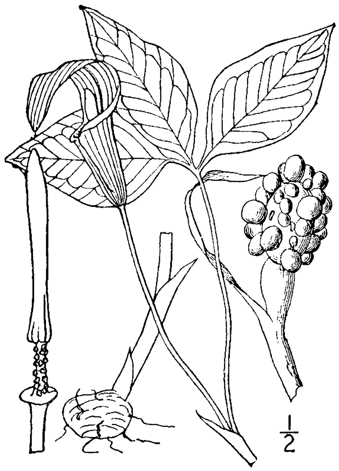 A drawing of Jack-in-the-pulpit shows off the plant's three leaf structure.