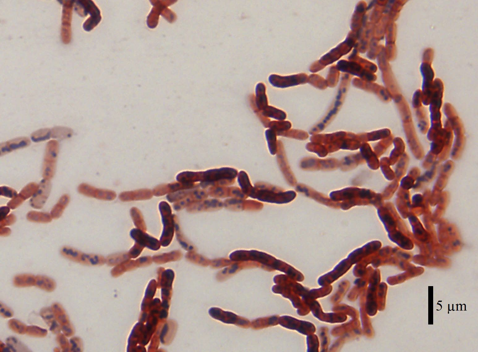 Image result for Bacillus alcalophilus