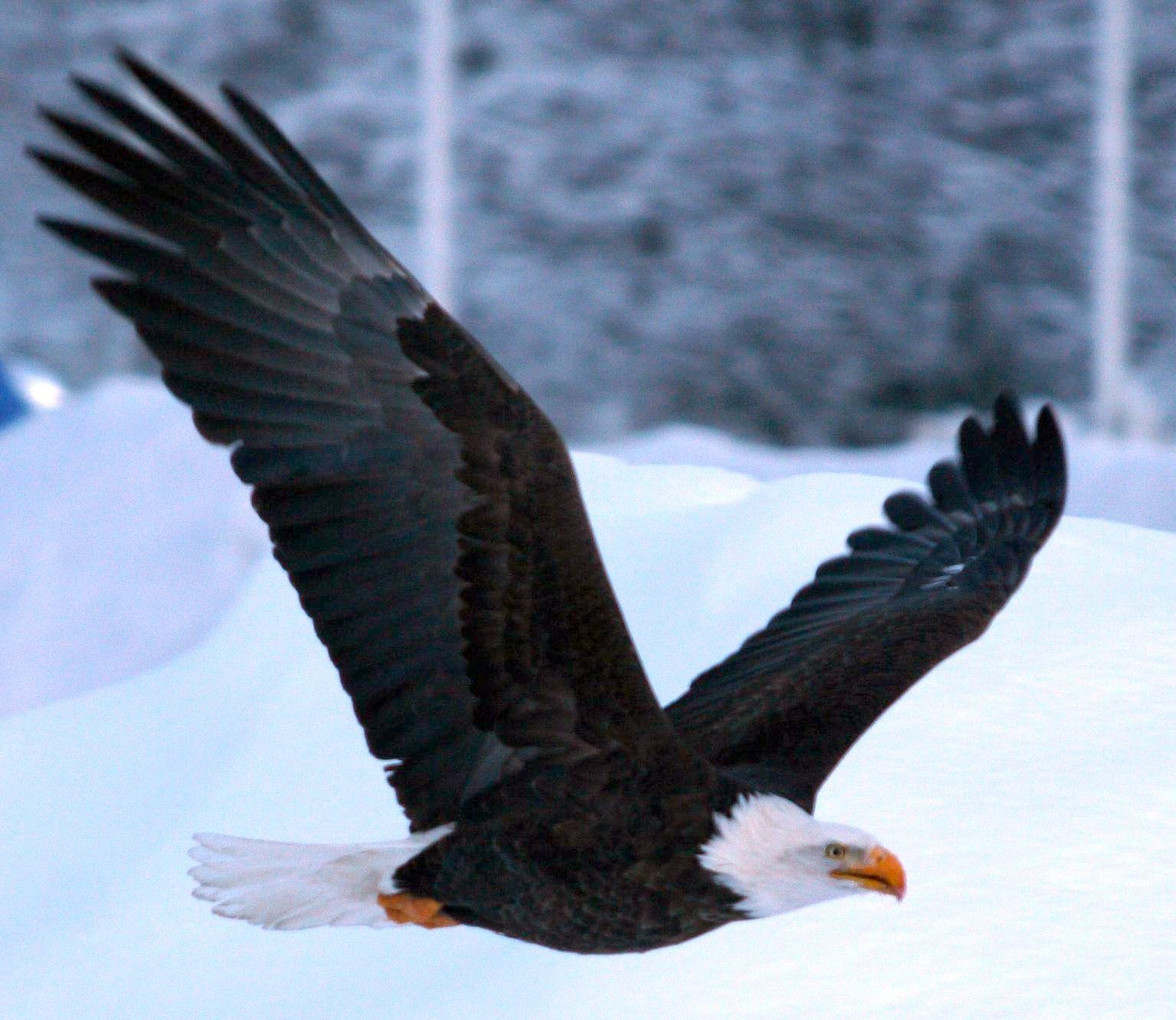 Taiga Animals : Bald Eagle