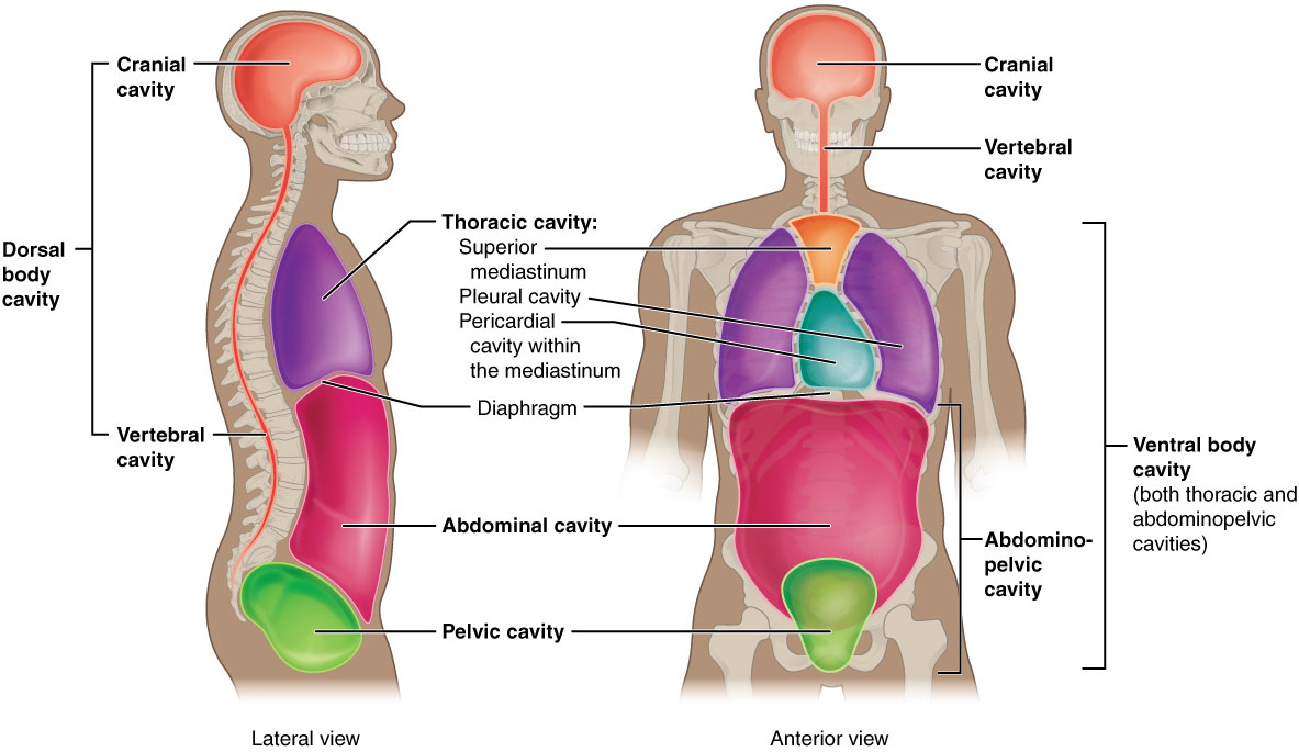 Body Cavity Linings Cavities of Human Body