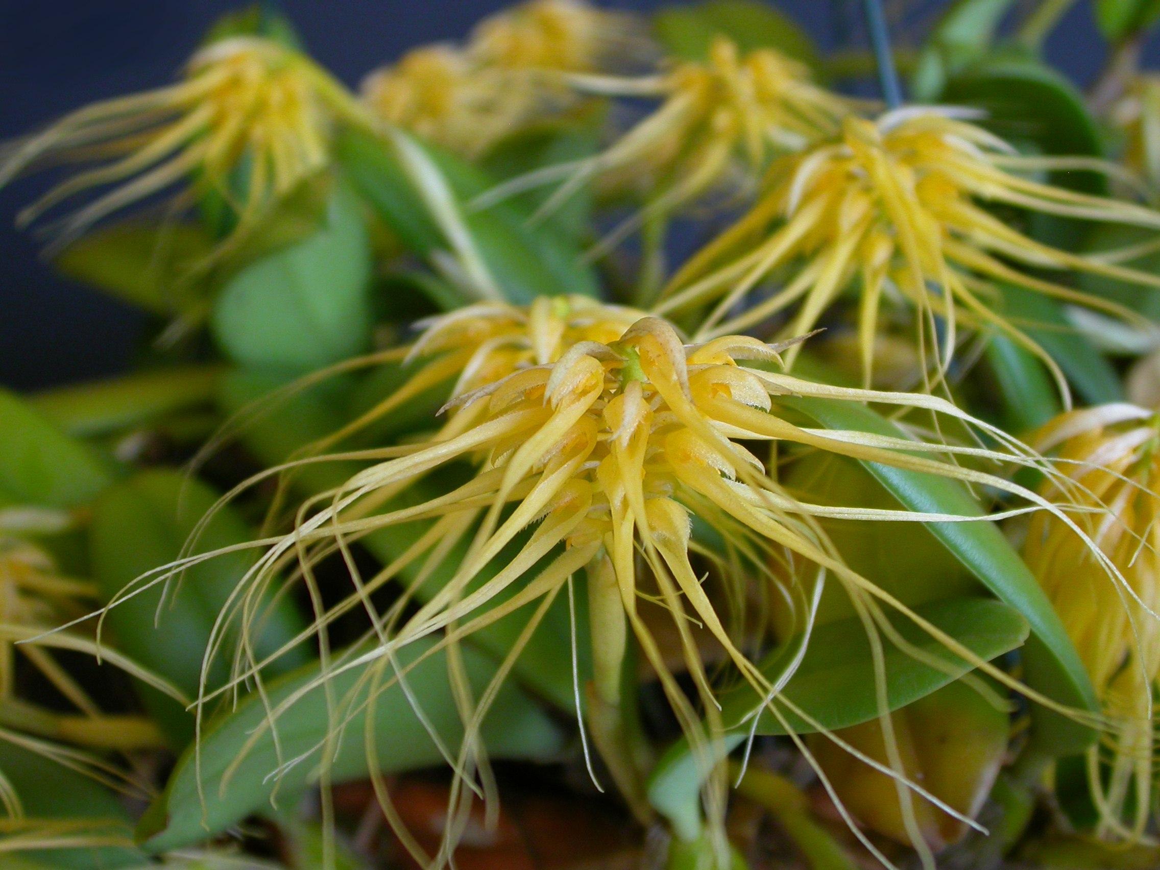 http://upload.wikimedia.org/wikipedia/commons/c/cf/Bulbophyllum_vaginatum_5.jpg