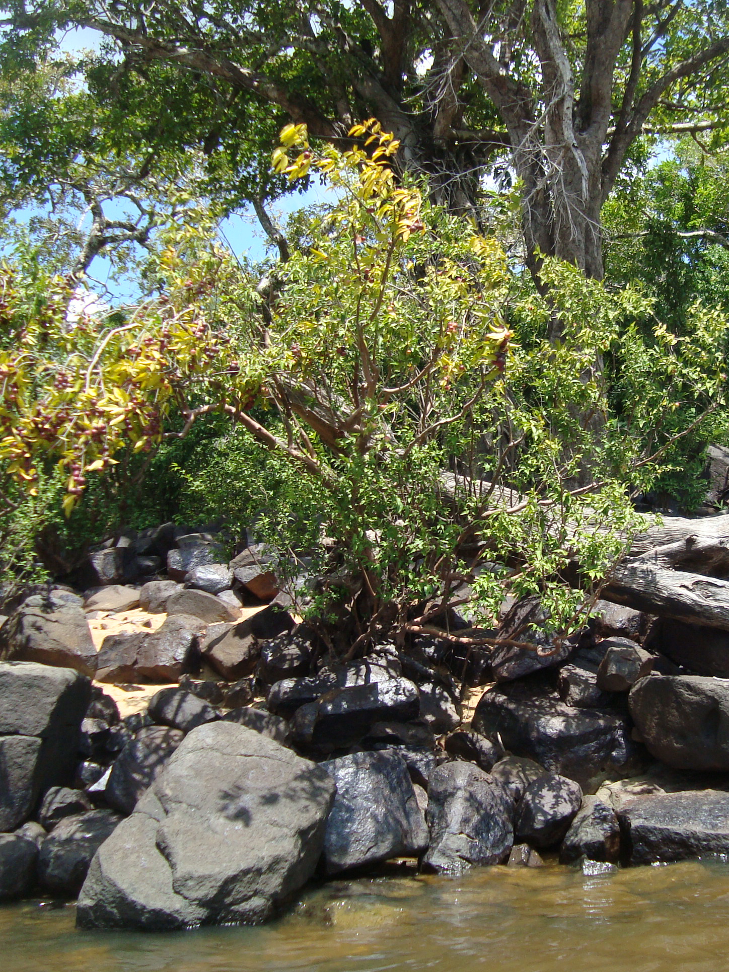 Myrciaria dubia - Wikipedia