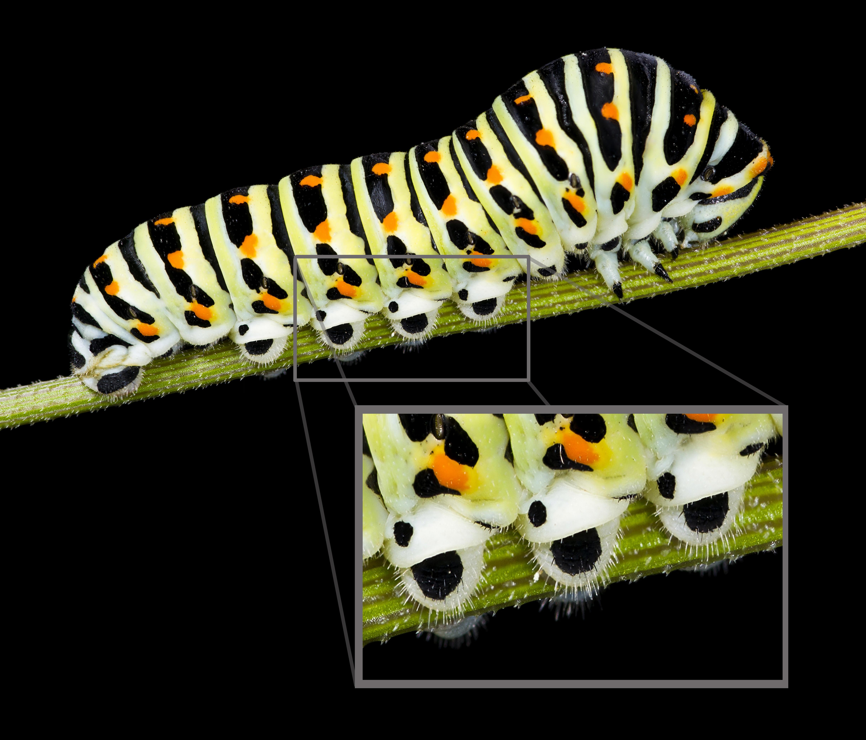 Chenille Lepidoptere Wikipedia