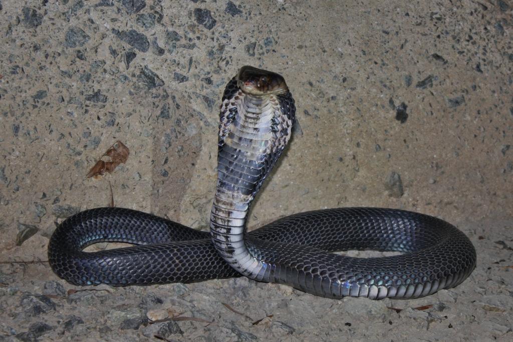 Juvenile Spectacled Cobra Naja naja   Cobra, Adventure
