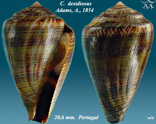 File:Conus desidiosus 1.jpg