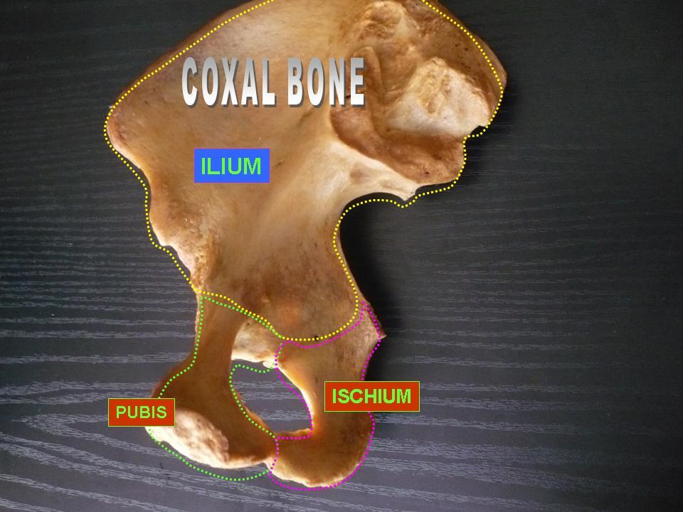 File Coxal Bone  Ilium  Ischium And Pubis  Jpg