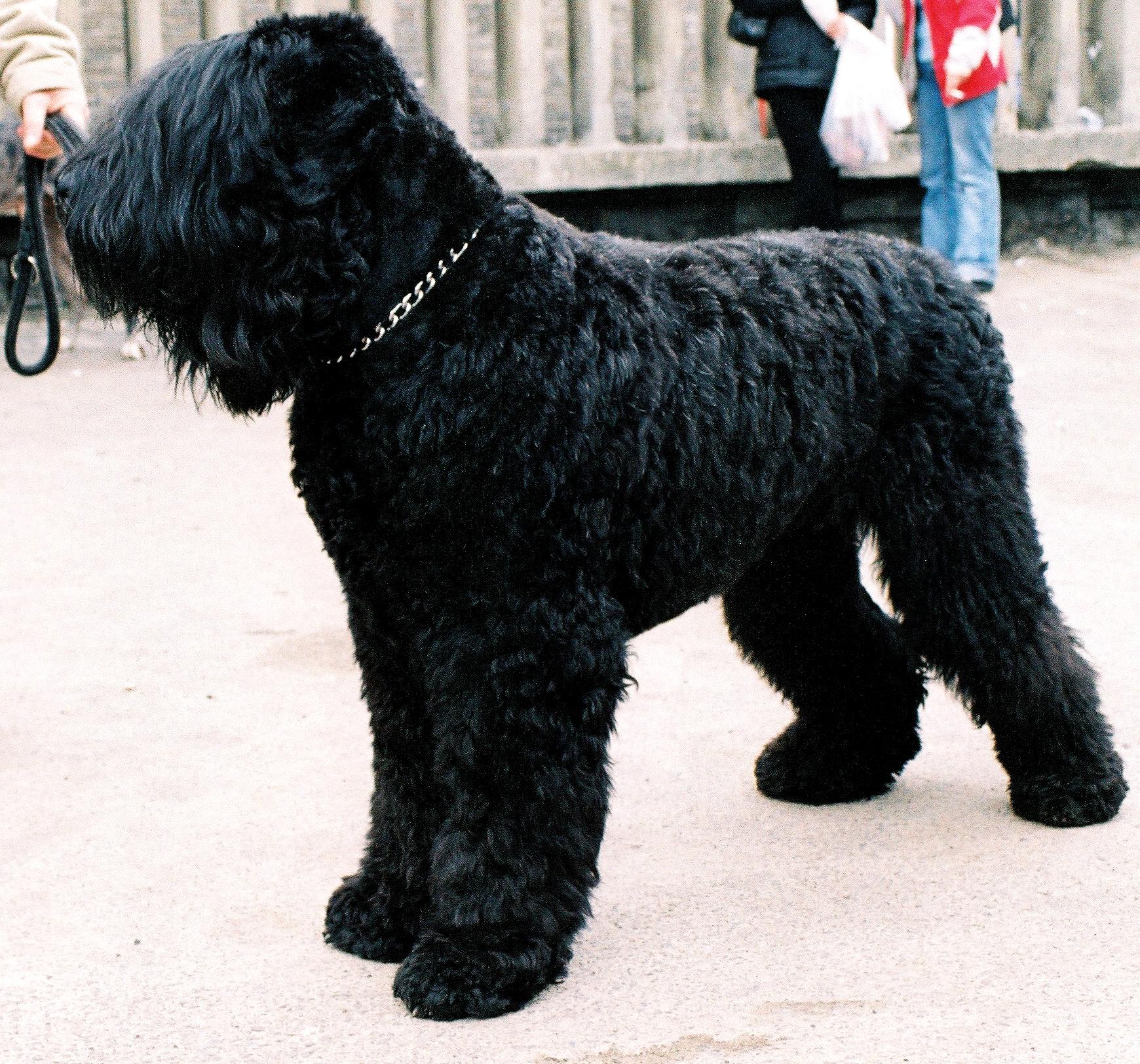 Dog Show Black Russian Terrier