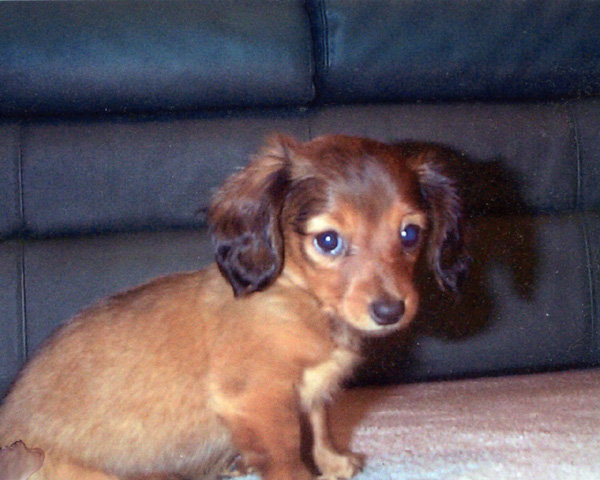 miniature dachshund puppies for sale in chattanoogatn