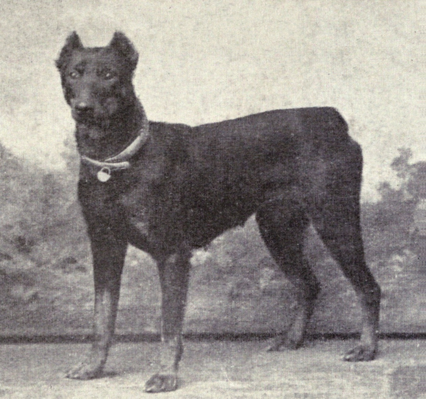Dobermann Pinscher from 1915