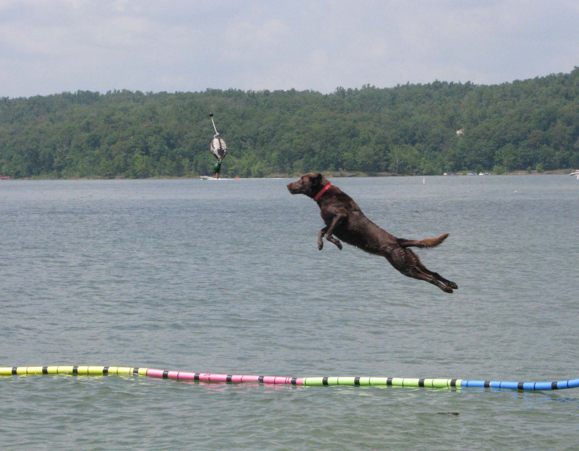 Dog Jumping For Hot Dog Chop Vegetables