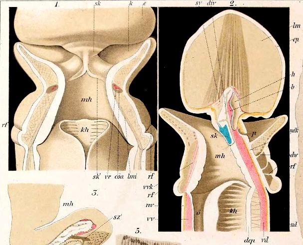 Archivo:Enteropneusta anatomía.png - Wikipedia, la enciclopedia libre