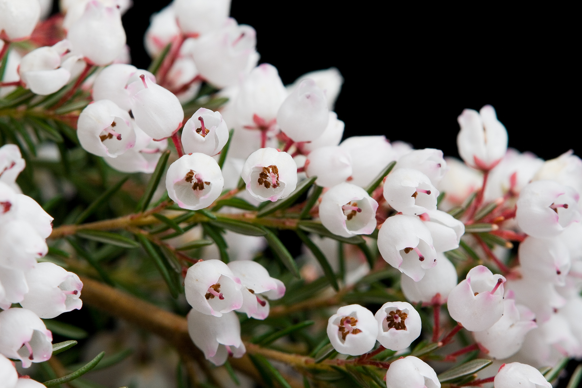 Fileerica Melanthera Whiteg Wikimedia Commons