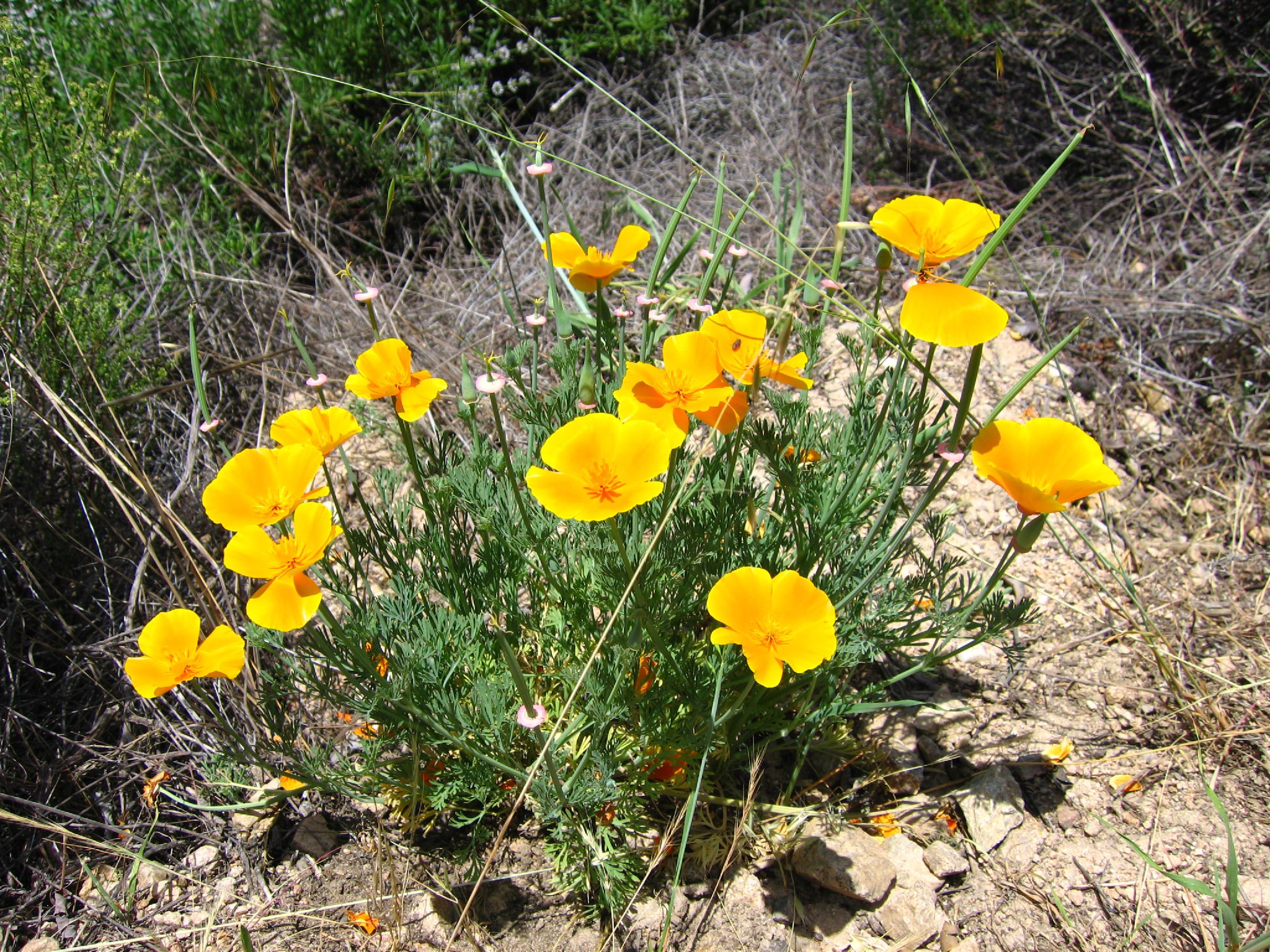 Images Of Plants File Eschscholzia Californica 1 Jpg Wikimedia Commons