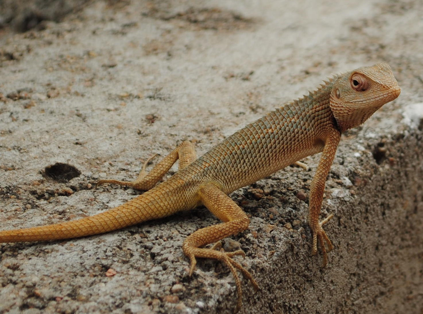 File:GARDEN LIZARD.jpg - Wikimedia Commons