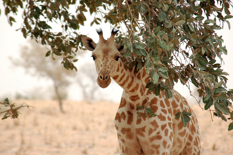 Giraffa camelopardalis peralta - Wikipedia, la enciclopedia libre