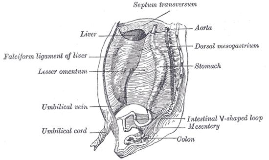 ventral mesentery - wikipedia, Human Body