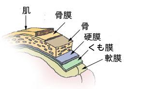 ファイル:Illu meninges jp.jpg
