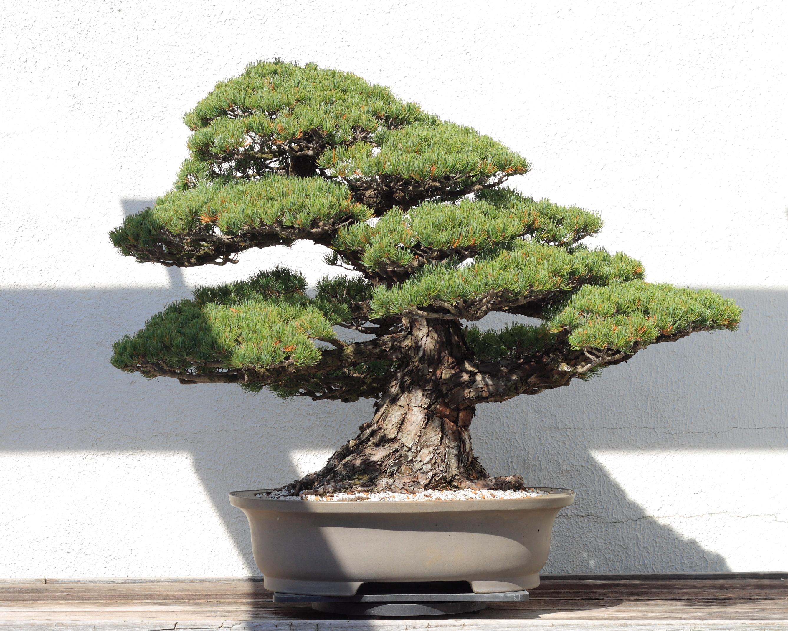 Description Japanese White Pine Bonsai 81  October 10  2008