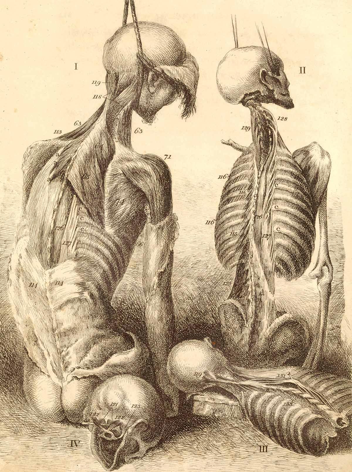 Vintage Anatomical Drawing Aparato locomot...