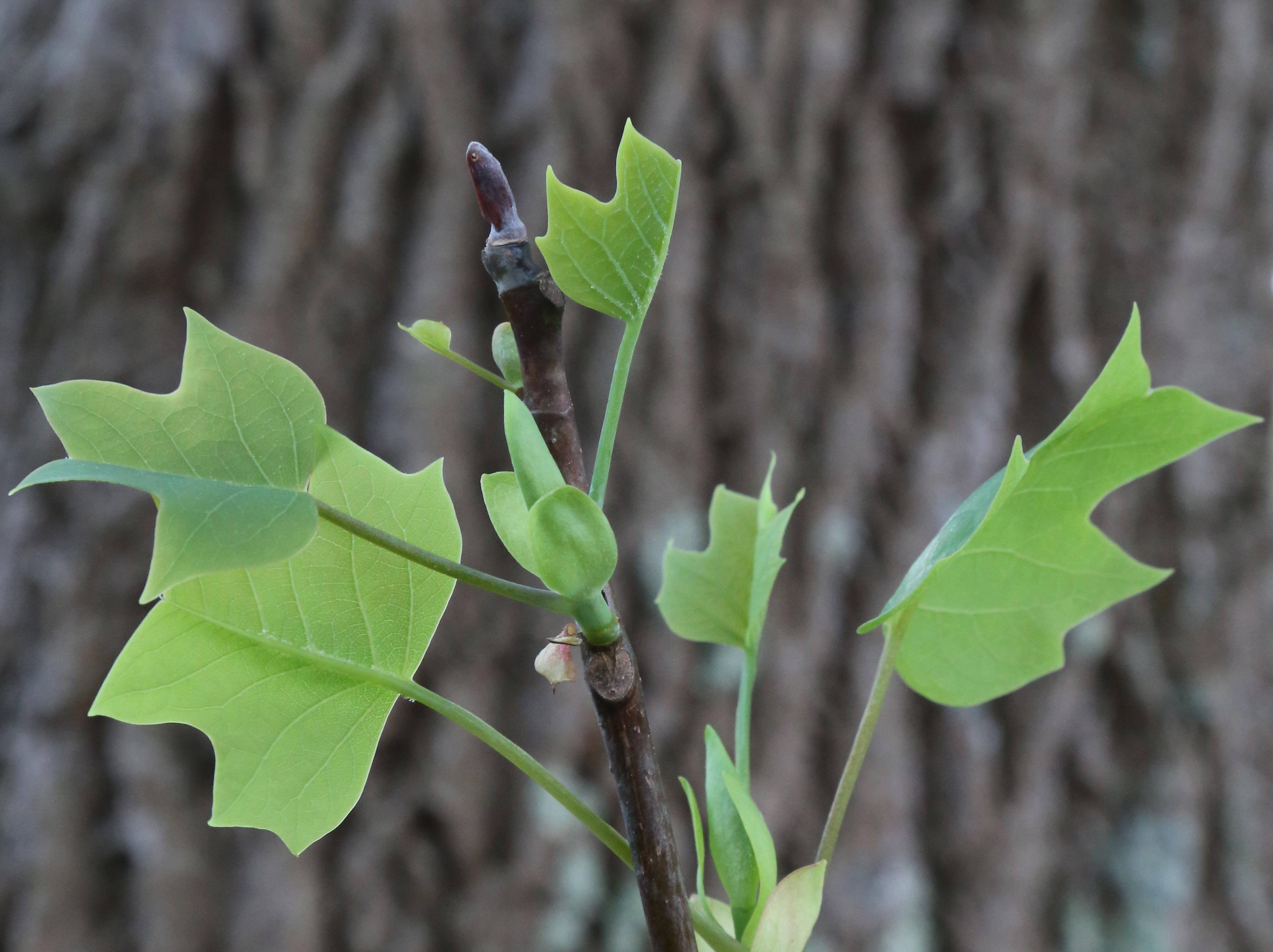 Tulip Poplar Tree Leaf Identification