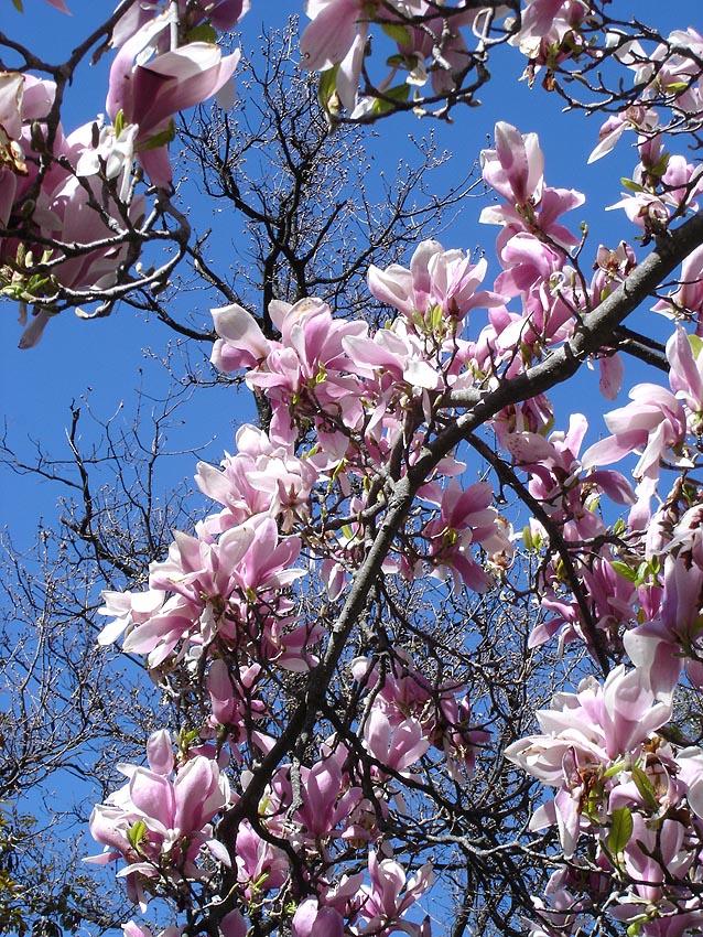 file magnolia x soulangeana jean tosti jpg wikipedia. Black Bedroom Furniture Sets. Home Design Ideas