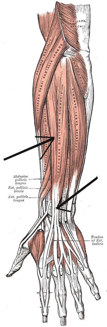 Flexor Digitorum Superficialis. Flexor Digitorum Longus is one of the muscles of the Flexors of the Ankle Flexor Digitorum Longus Extensor Hallucis Longus