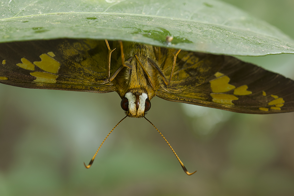 Nascus phocus (Hesperiidae