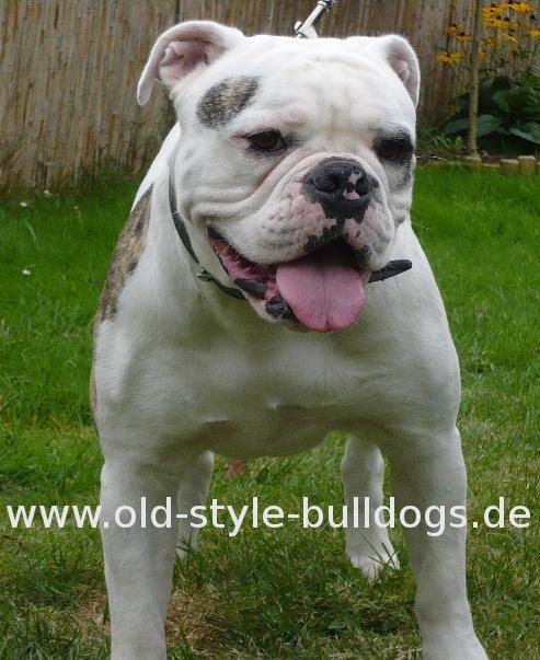 File:Olde English Bulldogge.JPG - Wikimedia Commons