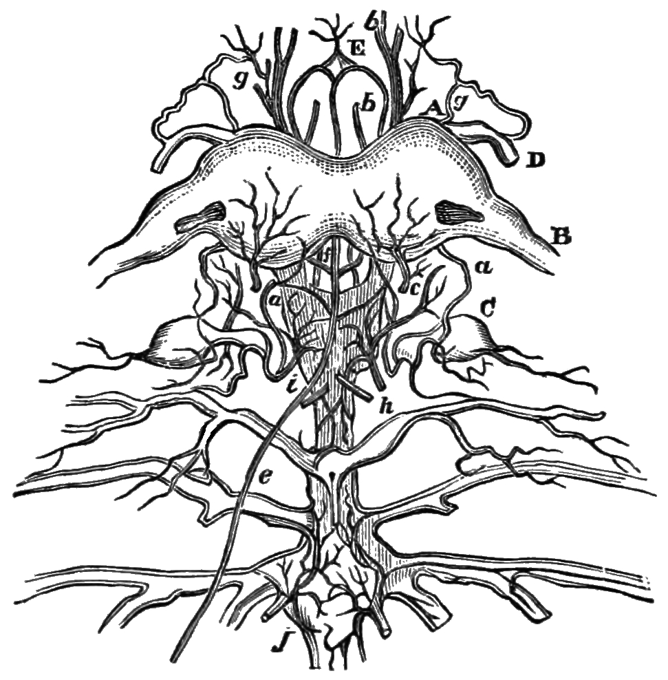 nervous system coloring pages free - photo#18