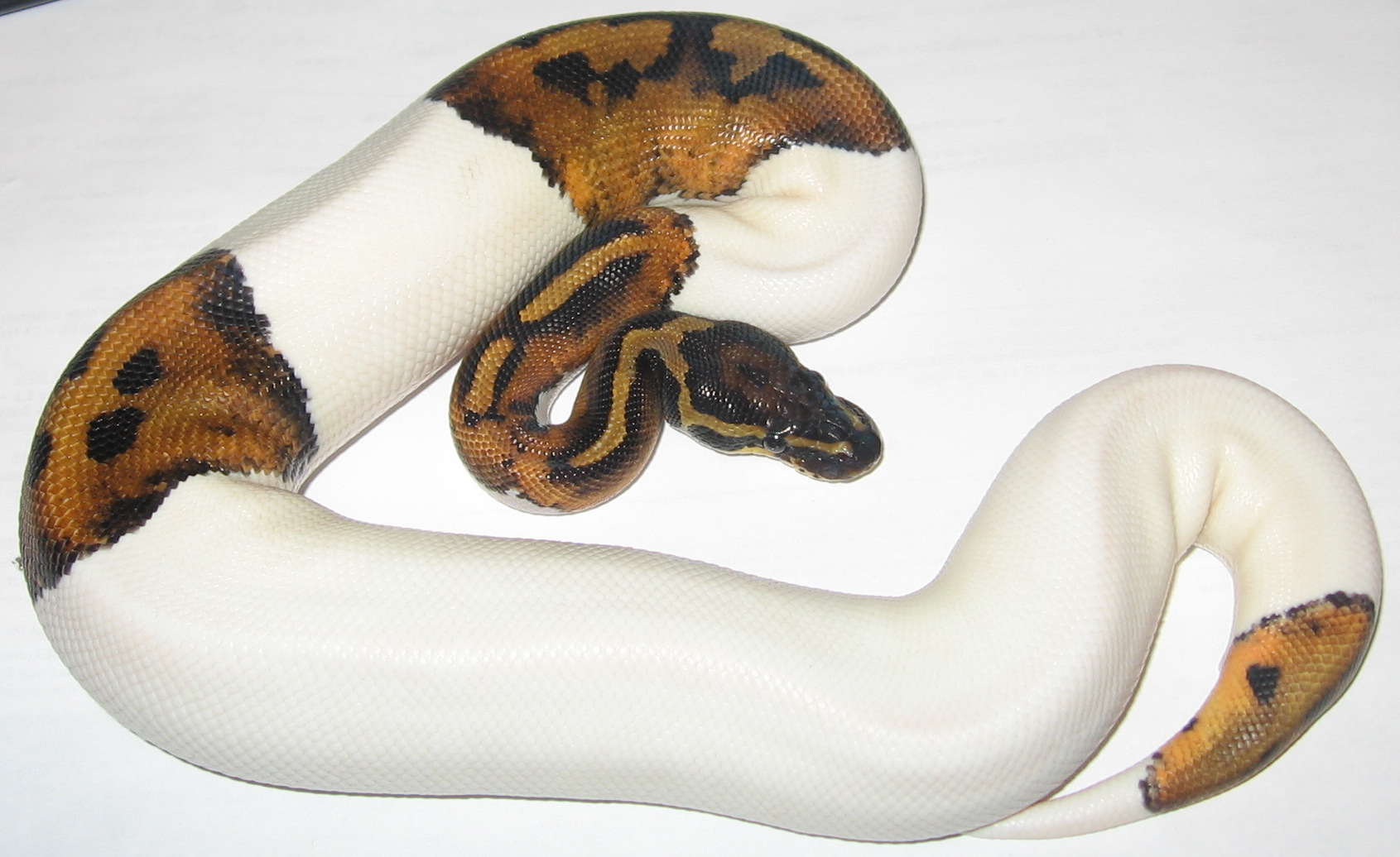 Image result for piebald ball python