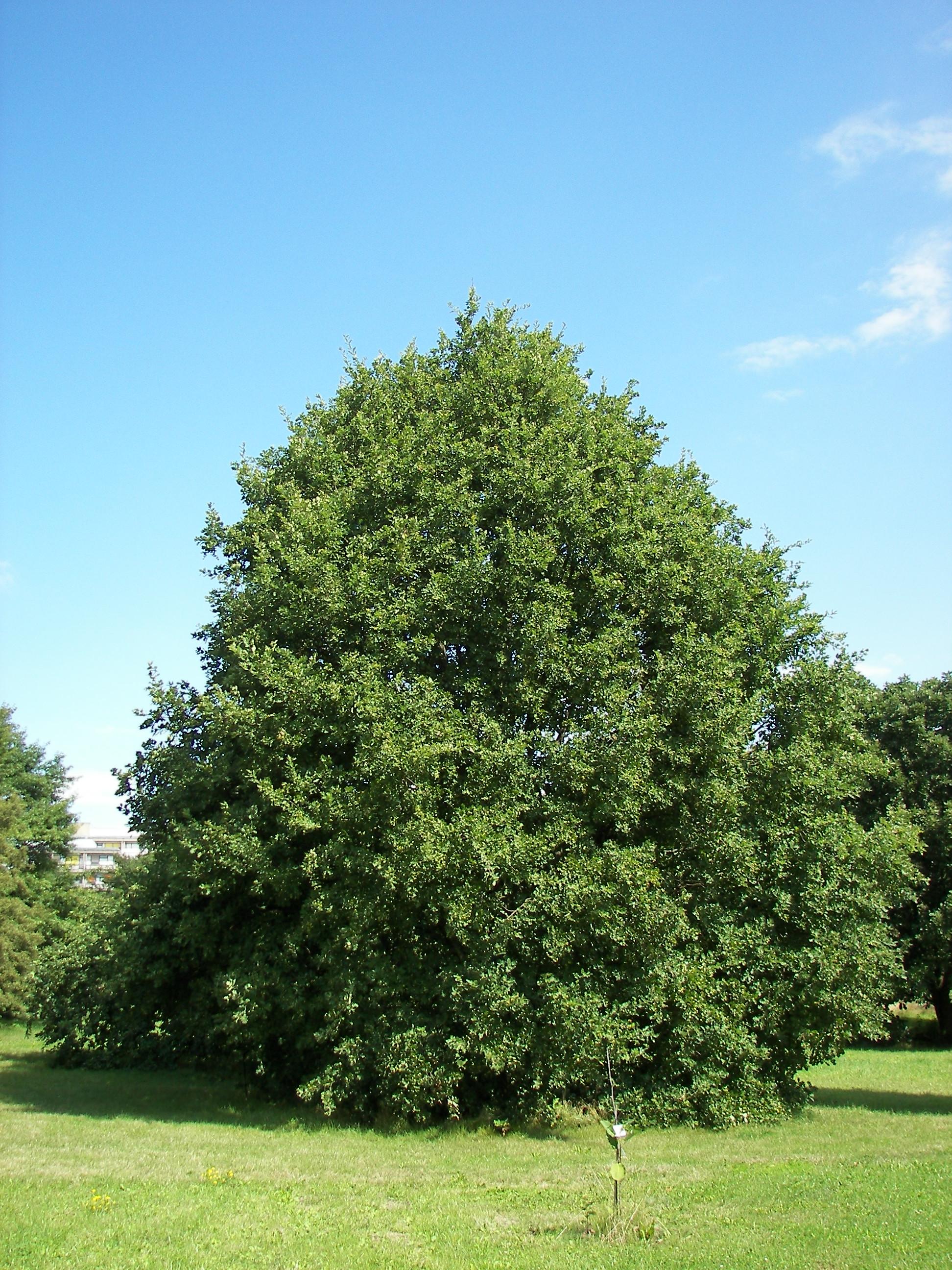 http://upload.wikimedia.org/wikipedia/commons/c/cf/Quercus_petraea_01.jpg