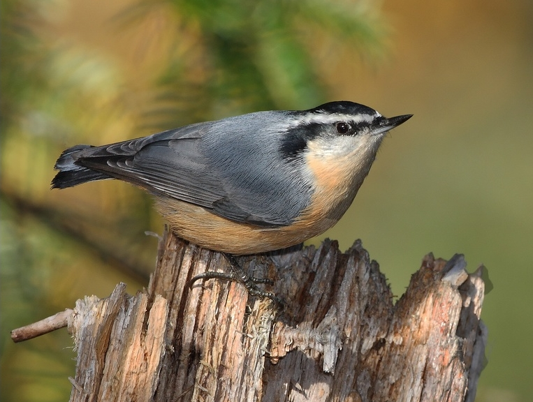 Fichier:Red-breasted Nuthatch (Sitta canadensis)6.jpg