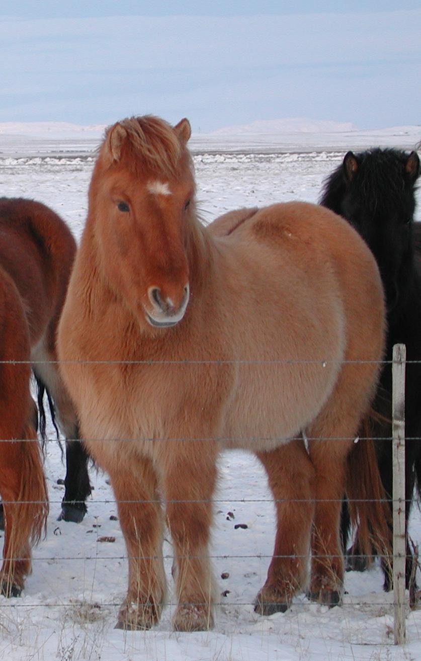 File:Red dun icelandic horse.jpg - Wikimedia Commons