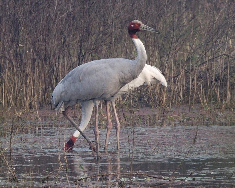 Sarus crane, Keoladeo National Park
