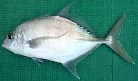 Shadow trevally species of fish