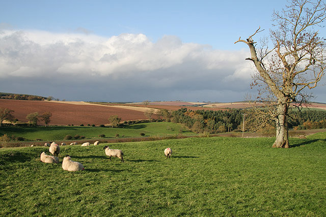 File:Sheep in a field at Cessford Castle - geograph.org.uk - 1022899.jpg