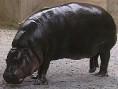 Slide pygmy hippo.jpg