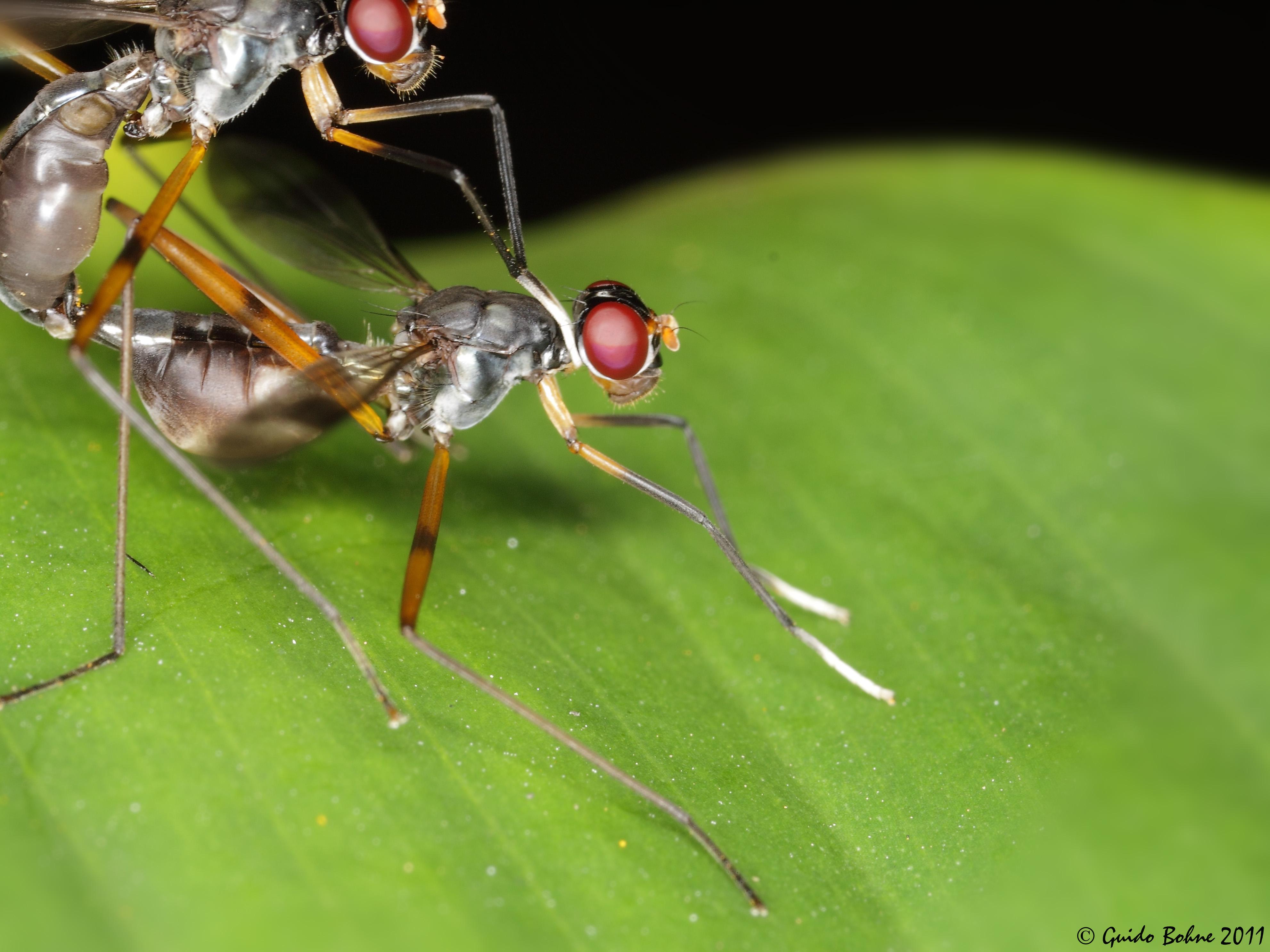 File:Snipe flies\' copula in W-Java (5491363612).jpg - Wikimedia Commons