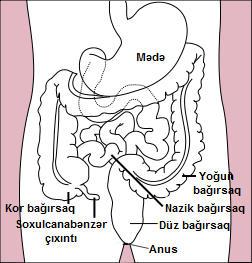 File:Stomach colon rectum diagram az.jpg - Wikimedia Commons