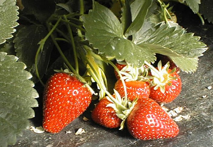 Fichier:Strawberries from plasticulture.jpg