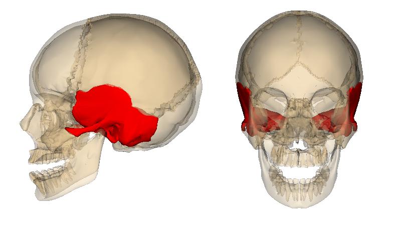 側頭骨 - Wikipedia