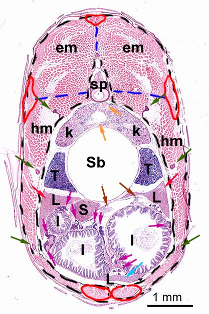 the zebrafish in toxicology testis location wikibooks diagram of skin diagram of inside of a 747