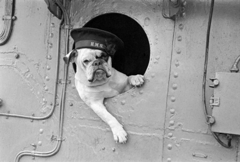 "File:""Venus"" the bulldog mascot of the destroyer HMS VANSITTART, 1941. A3998.jpg"