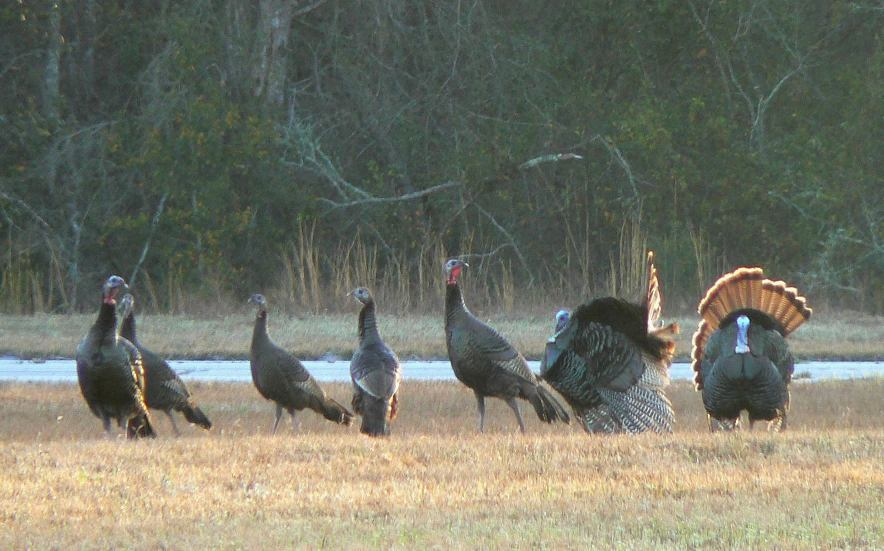 Flock of eastern turkeys outdoors