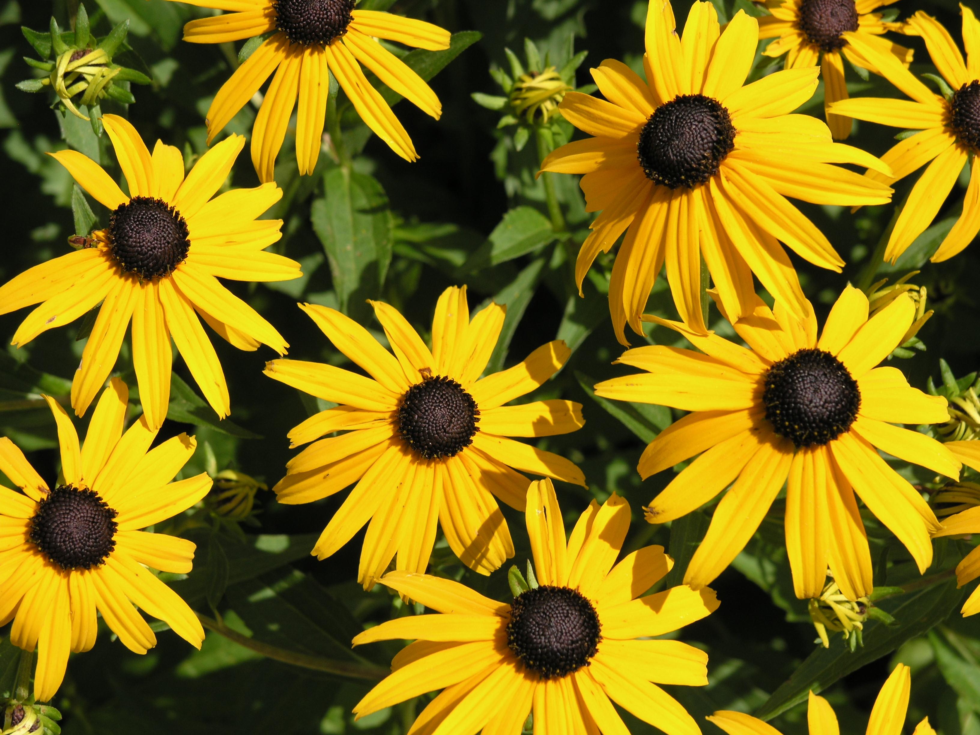 File 2006 07 25 rudbeckia fulgida2 jpg wikipedia - Plantas perennes exterior ...