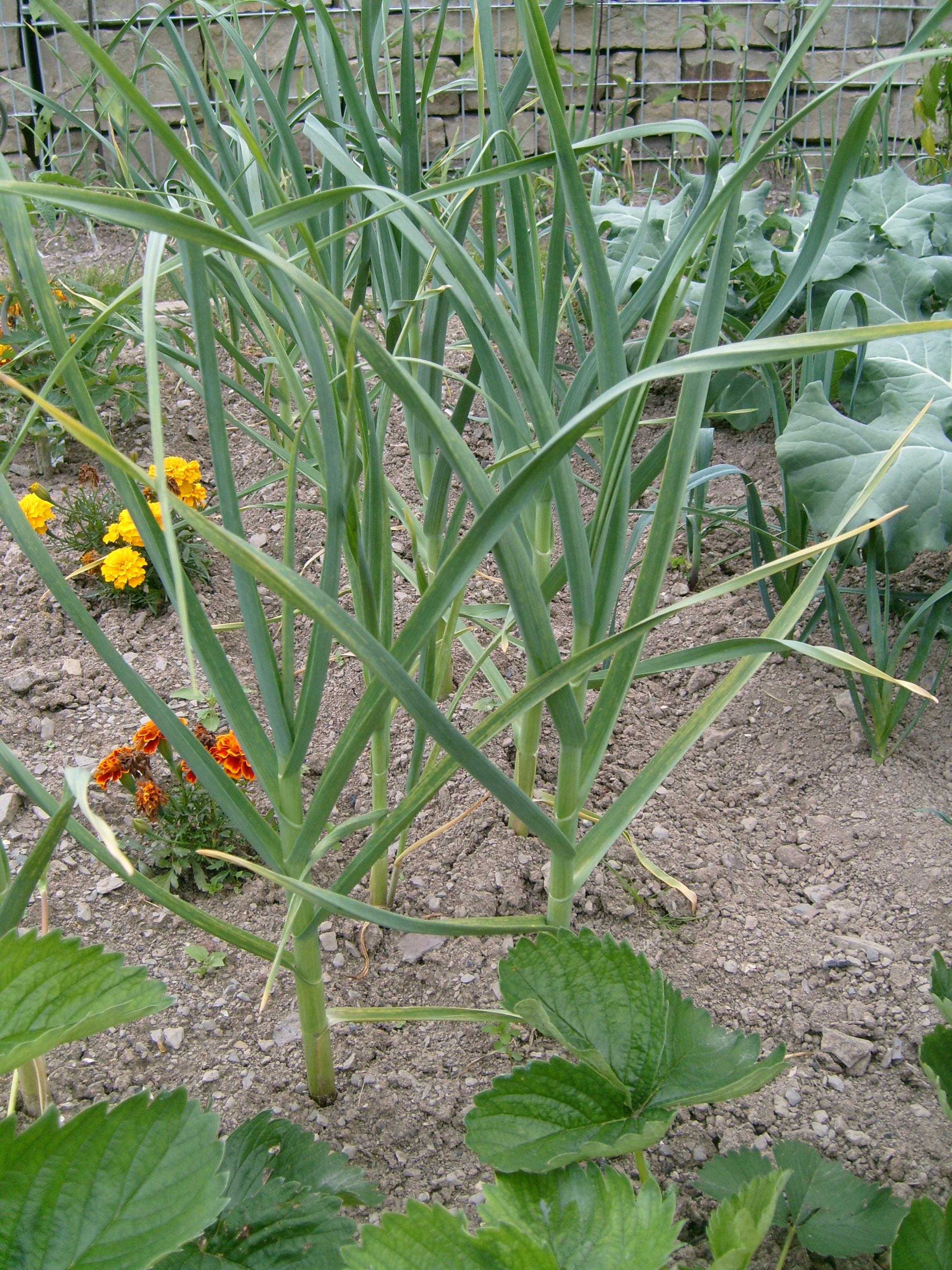 Resultado de imagem para Allium sativum