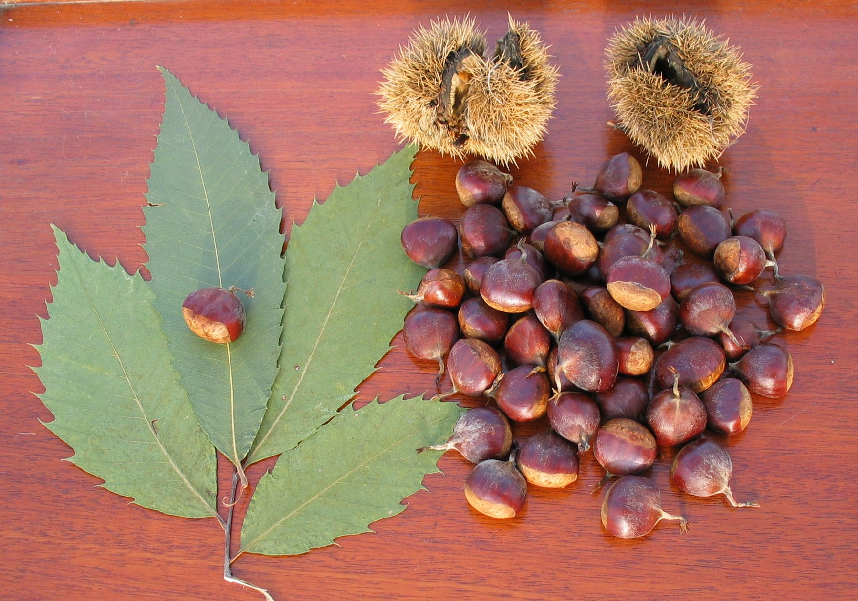 American Chestnut Tree Leaves & Nuts