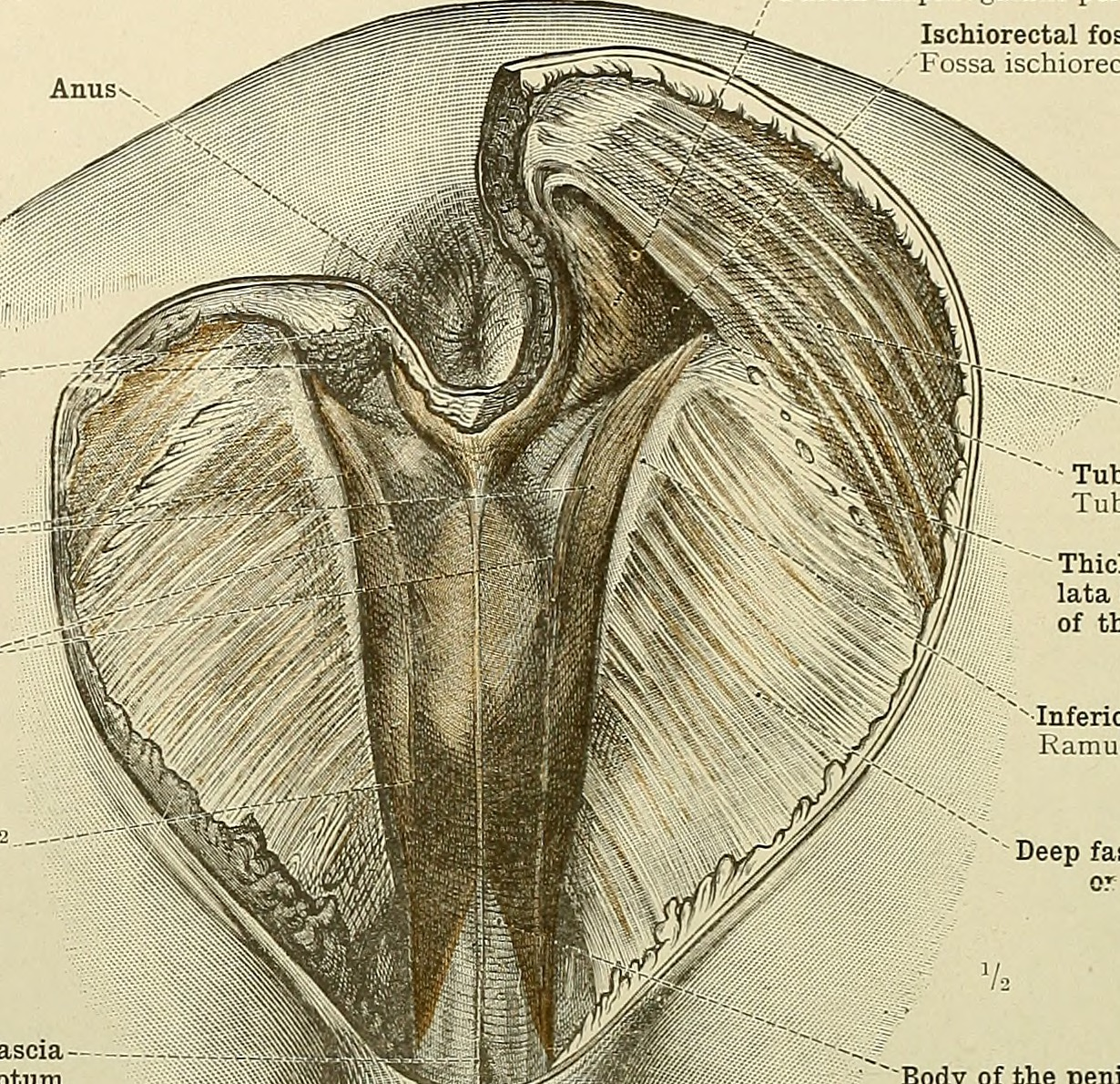 File:An atlas of human anatomy for students and physicians (1919 ...